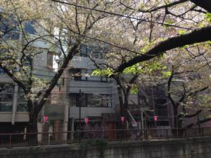 sakura-140410-2.jpg