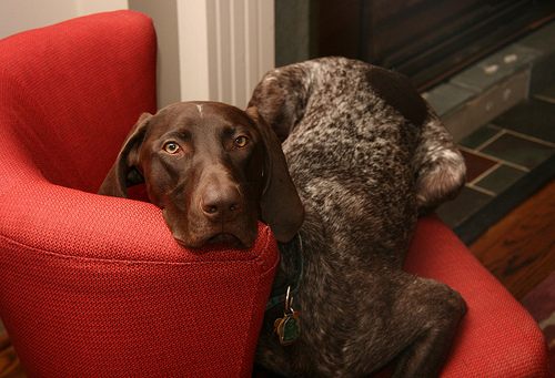 pet dog sofa best slipcovers for camelback brittany spaniel