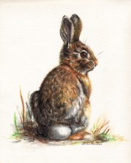 Beth Drainville, Cottontail, 8x10-watercolor-pencil