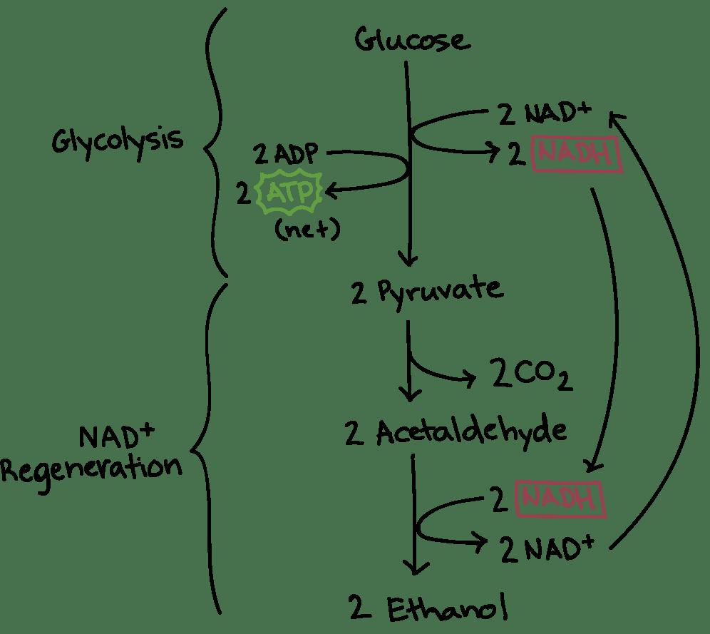 medium resolution of alcoholic fermentation