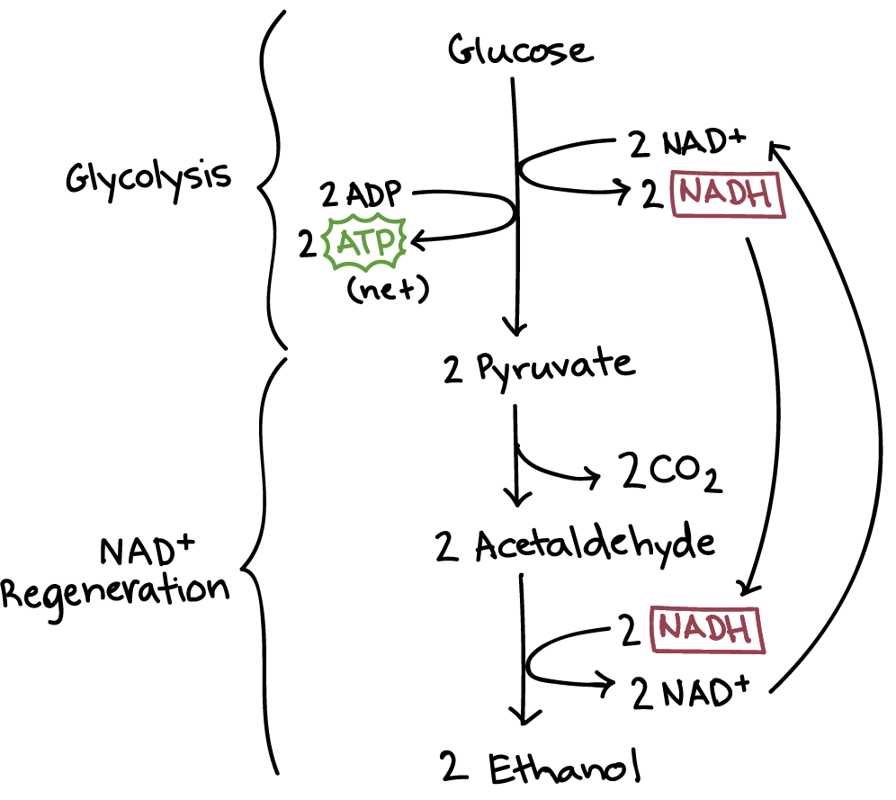 hight resolution of alcoholic fermentation