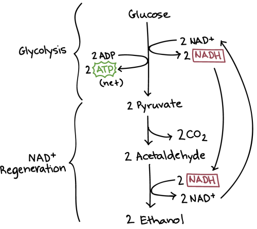 small resolution of alcoholic fermentation