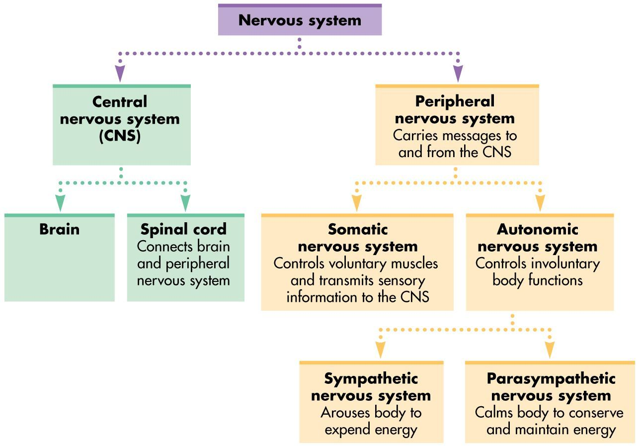 Nervous System Diagram Function Amp Diseases Studiousguy