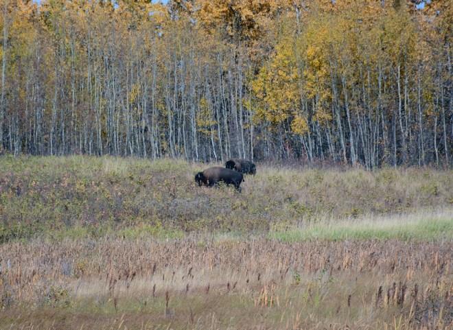 GEP_6690e Buffalo