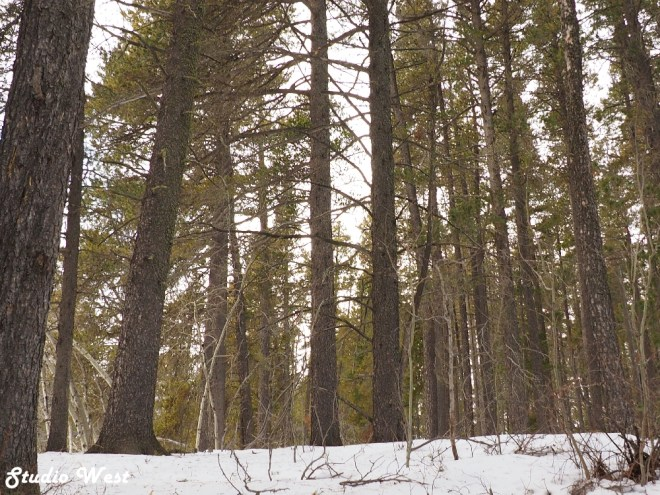 Cypress Hills lodgepole pines