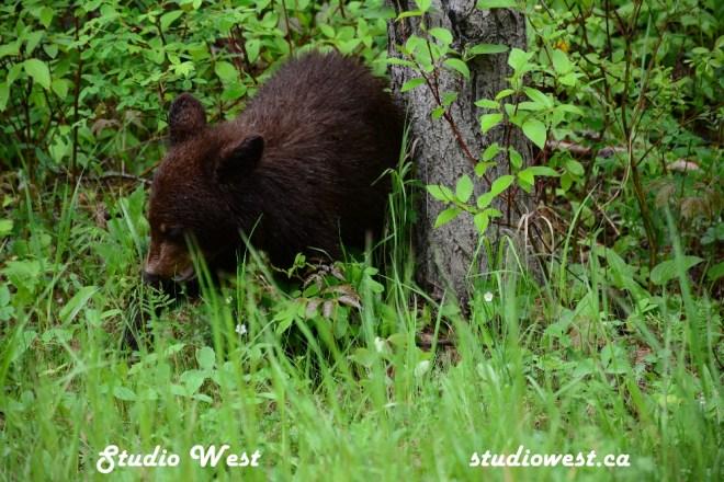 Bear CHP_1435