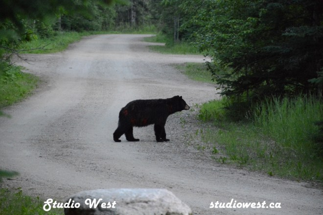 Bear GEP_5830