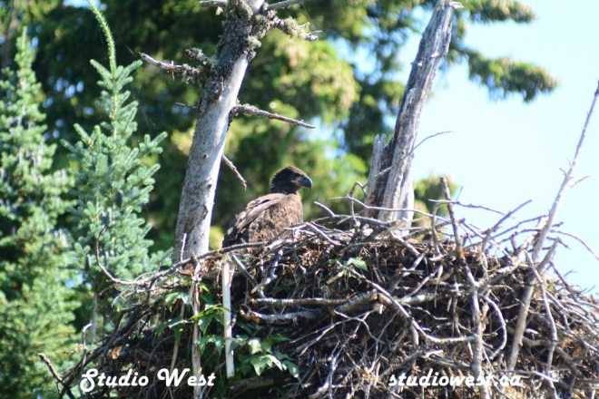 Eagle Baby GEP_8398