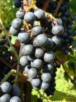 Winnica-Patria_grona00
