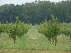 młode drzewka jabłoni