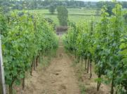 Stara Winna Góra - winnica w pradolinie Odry