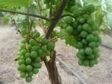 Winnica Na Leśnej Polanie - winogrona deserowe, czerwiec 2016
