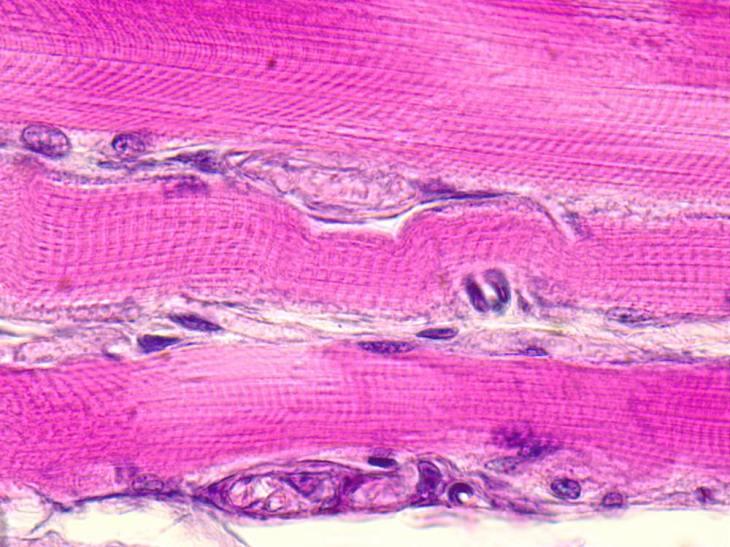 5分で分かる「横紋筋」と「平滑筋」それぞれの違いを東大生物学科卒が分かりやすく解説
