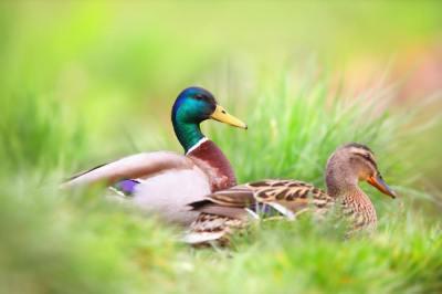 「いい鴨」の意味や使い方は?例文や類語をWebライターが解説!