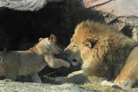 【慣用句】「獅子の子落とし」の意味や使い方は?例文や類語を元広告会社勤務ライターが解説!