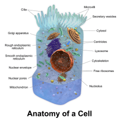 Endoplasmic Reticulum Animal Cell Diagram Transformer Wire Smooth Er Definition Functions Structure Video Lesson With Organelles