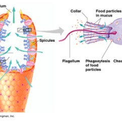 Octopus Water Vascular System Diagram 2004 Dodge Durango Engine Porifera Circulatory Study Com Sponge Body Plan
