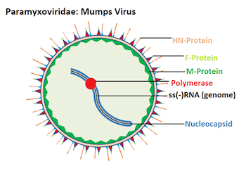 basic virus diagram stator wiring mumps structure and function video lesson transcript