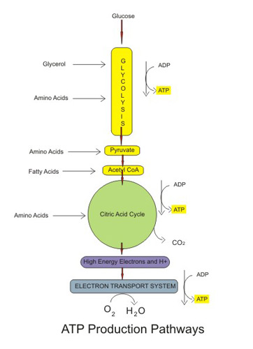 complicated water cycle diagram 95 240sx wiring aerobic cellular respiration: stages, equation & products - video lesson transcript | study.com