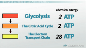 stages of glycolysis and fermentation diagram pt100 sensor wiring lactic acid alcoholic comparison contrast aerobic cellular respiration