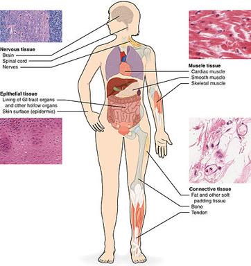 body tissue2 - Tejido del cuerpo humano ¿En que consiste el tejido?