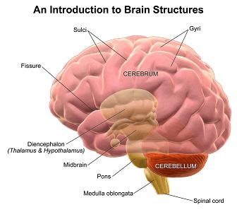 Brain Anatomy: Lesson for Kids | Study.com