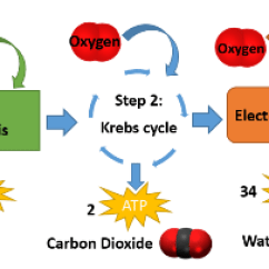 Electron Transport Chain Simple Diagram Ford 2000 Tractor Ignition Switch Wiring Cellular Respiration Lesson For Kids: Definition & Steps | Study.com