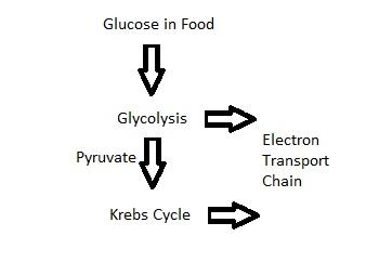 Cellular Respiration Cycle Diagram Cell Respiration