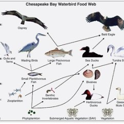 Temperate Forest Food Web Diagram Structured Media Wiring Characteristics Of Savanna Webs | Study.com