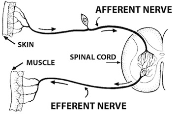 diagram of a simple reflex arc vascular anatomy lower somatic nervous system definition function example video