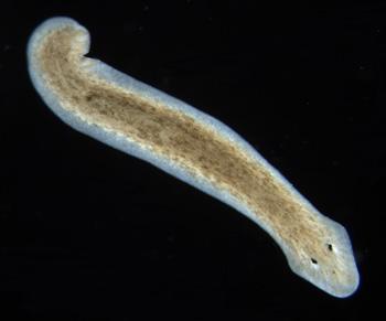 Reproduction of Planaria Worms  Video  Lesson Transcript