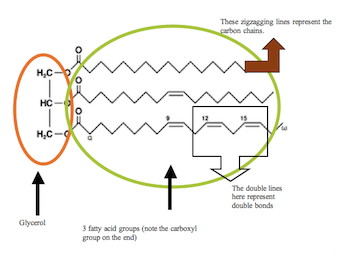 fat structure diagram msd 6al wiring ford tfi what are fats functions molecular video lesson also note the double bonds they will be important in distinguishing between saturated and unsaturated zigzagging lines a shortcut chemistry