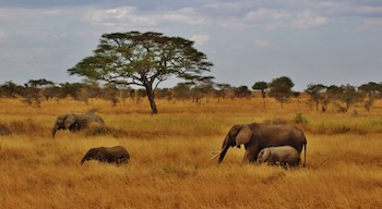 african elephant food chain diagram rat muscle anatomy savanna web lesson for kids study com