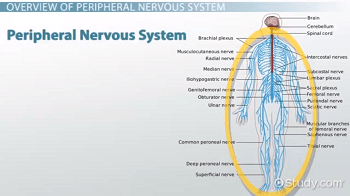 Peripheral Nervous System Definition Function & Parts Video