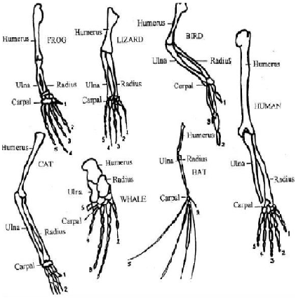 Which bone is not part of the forelimb skeletal structure