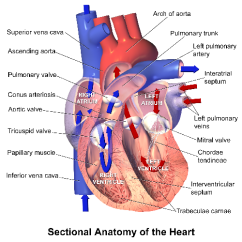 Realistic Heart Diagram Hvac Heat Pump Thermostat Wiring Ventricle Function Anatomy Study Com Of