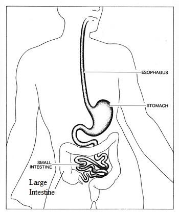 Digestive System Quizlet For Kids