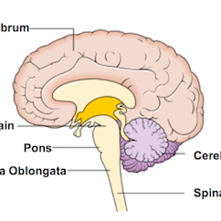 Brain Diagram Pons Ford Alternator Diode Testing What Is The Medulla Definition Function Location Video Oblongata Also Known Just As Part Of Your Brainstem Which Literally Stem That Extends From
