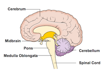 brain diagram pons circuit breaker wiring diagrams what is the medulla definition function location video oblongata also known just as part of your brainstem which literally stem that extends from