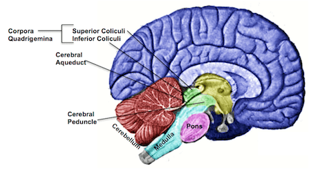 Midbrain: Definition Function & Structures - Video ...
