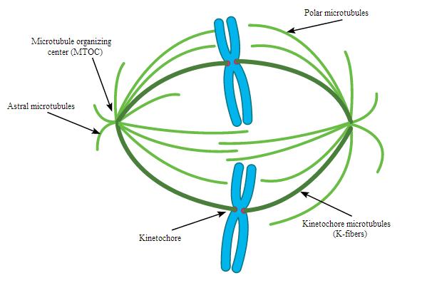 Definition Of Motor Proteins  impremedianet