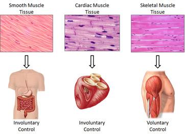 muscle tissue - Tejido del cuerpo humano ¿En que consiste el tejido?