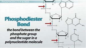 DNA: Chemical Structure of Nucleic Acids & Phosphodiester