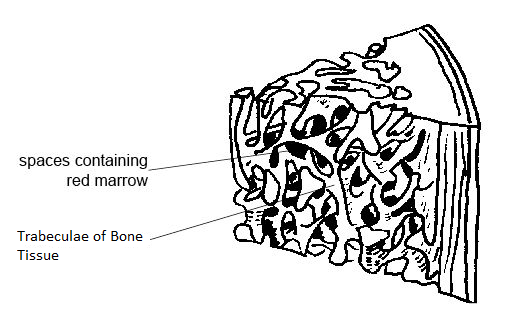 Trabeculae of Bone: Definition & Function Video with