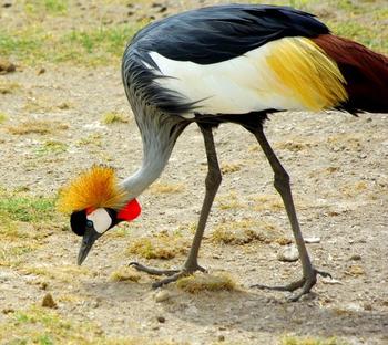 crane bird information lesson