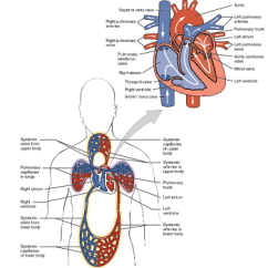 Earthworm Diagram Worksheet Alpine Type X Sub Wiring Do Earthworms Have A Closed Or Open Circulatory System? | Study.com