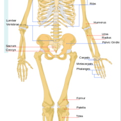 Kids Skeletal System Diagram Freightliner Electrical Wiring Human Lesson For Study Com Movement Your