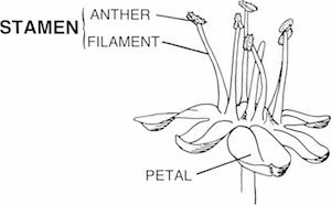 Male Reproductive Organs in Plants: Structure & Function