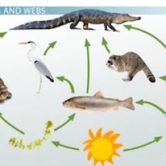 Alligator Food Chain Diagram 2012 Ford Focus Radio Wiring Swamp |