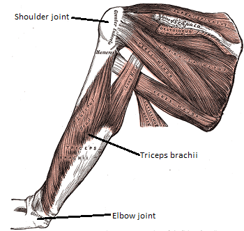 triceps brachii diagram ocean floor drawing muscle definition function location study com the is located at back of humerus bone in upper arm